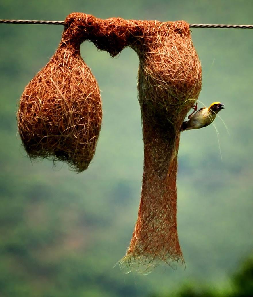 ilginç kuş yuvaları, kuş mimarisi