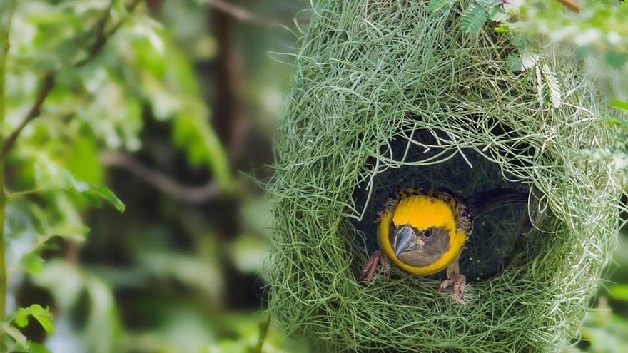 kuşlar nasıl yuva yapar