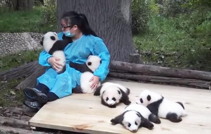 panda bakıcılığı çin