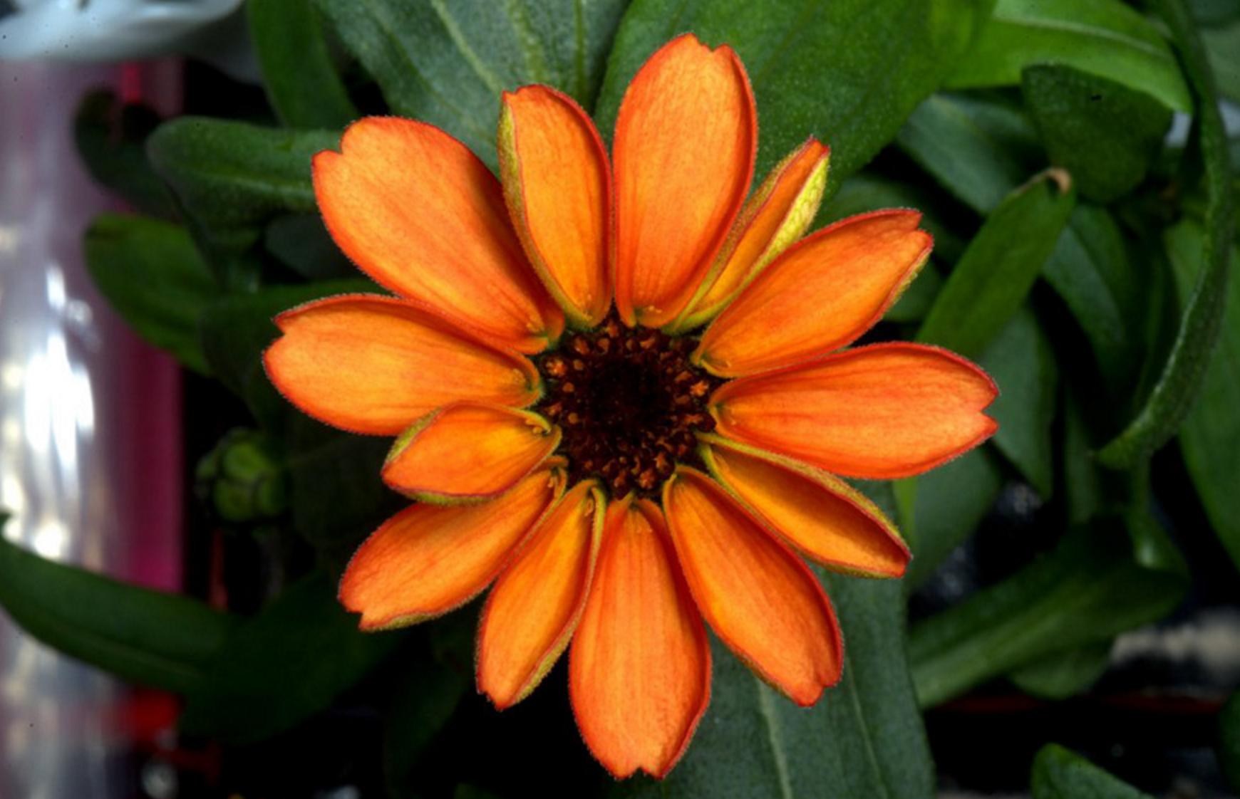 uzayda yetişen ilk çiçek kirli hanım