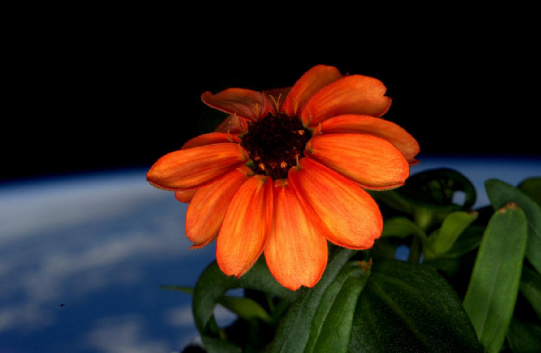 uzayda yetişen ilk çiçek nasa