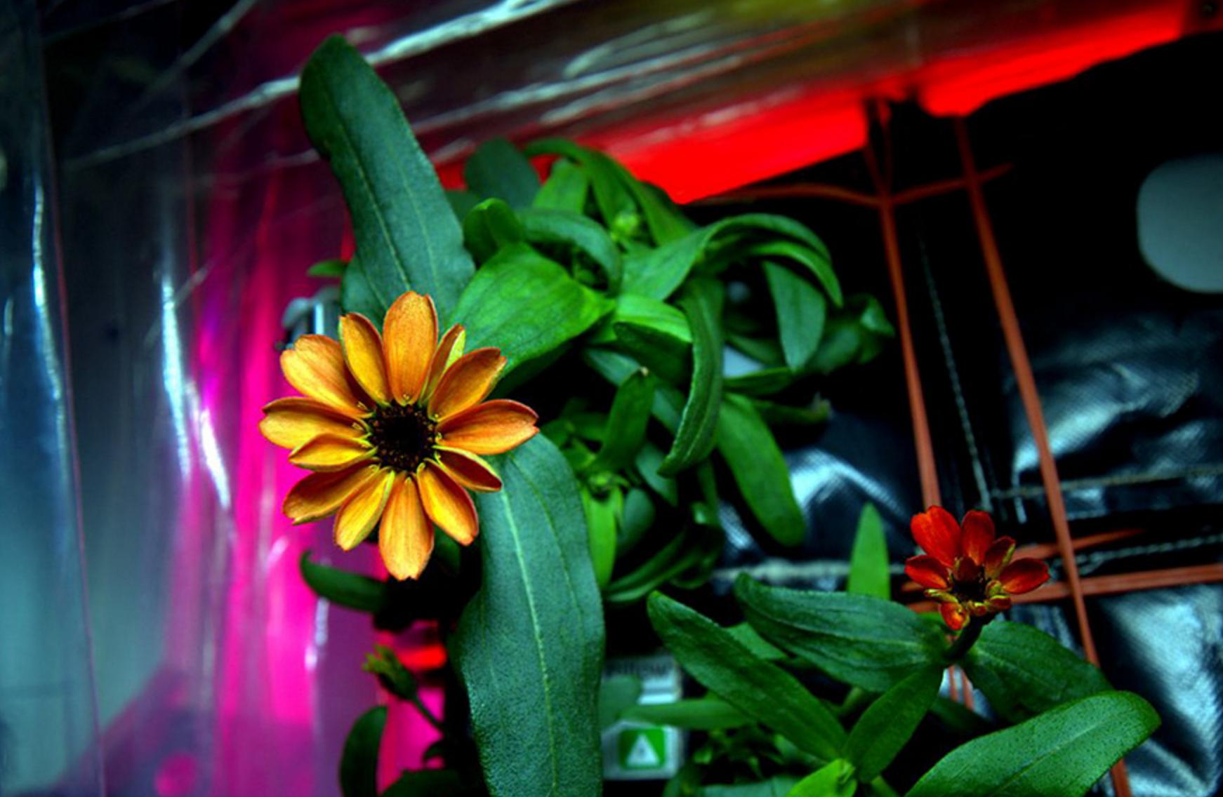 uzayda yetişen zinya çiçeği